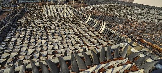 Coisas proibidas nos EUA - Barbatanas de Tubarão