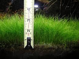 Chiều cao trung bình cỏ Ngưu Mao Chiên trong hồ Thủy Sinh