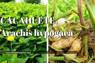 Cacahuete nombre cientifico Arachis hypogaea