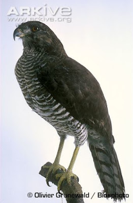 Madagascar serpent Eagle