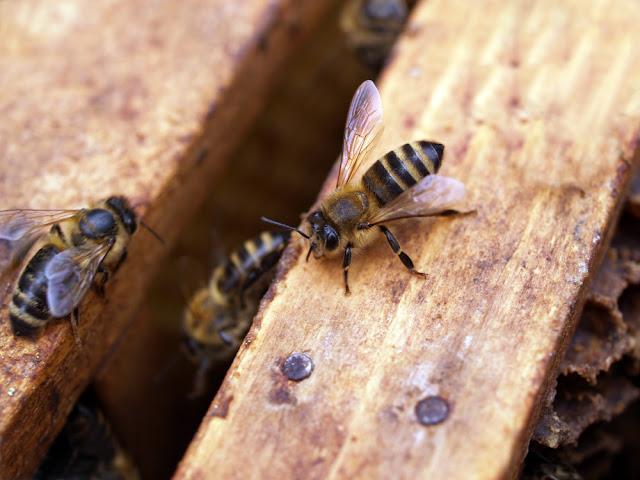 Αηδιαστικό: Μέλισσες ζούσαν μέσα στο μάτι γυναίκας- Τρέφονταν με τα δάκρυά της