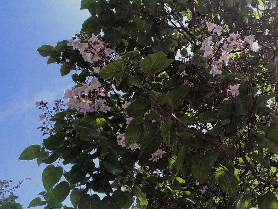 Albero Con Fiori Bianchi il gusto della natura: paulonia (paulownia tomentosa), l