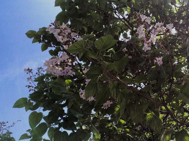 Fioritura Paulownia tomentosa