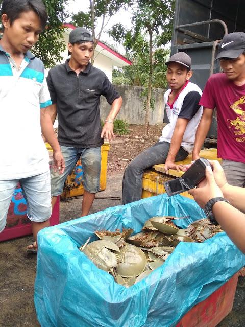 1.600 belangkas yang diamankan Polres Asahan.
