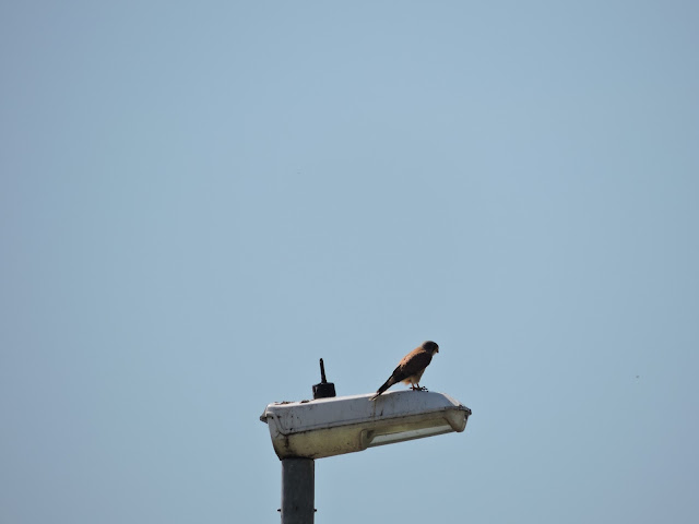 A kestrel sat on the top of a lamp post
