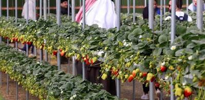 ننشر تفاصيل رفع الحظر السعودي على صادرات مصر من الفلفل والفراولة