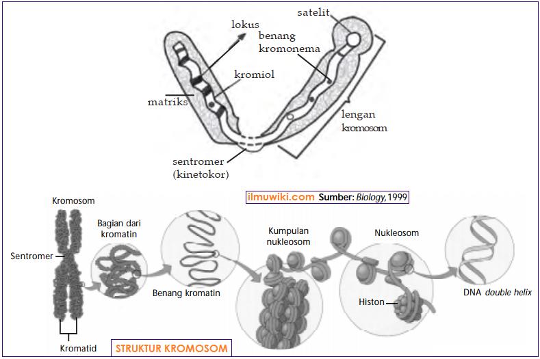Struktur kromosom - Sentromer, Kromonema, Kromomer, Kromiol, Telomer, Matriks, Lokus gen, Satelit, dan Selaput