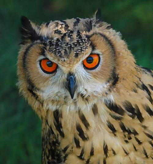 Indian birds - Image of Rock eagle-owl - Bubo bengalensis