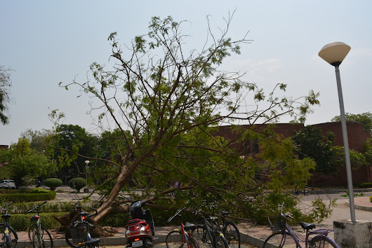 Tree fallen in storm at IIT Kanpur