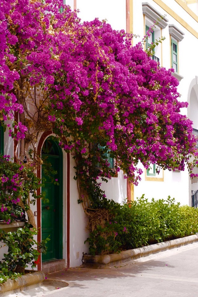gran canaria puerto mogan buganvilla decor decoration bougainvillea