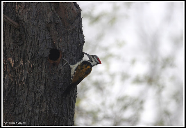 golden back woodpecker busy with breakfast at Bharatpur