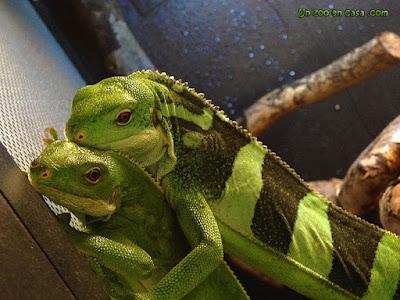 Pareja de iguanas de Fiji