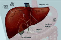 Liver Function in Digestive System