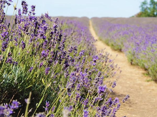 london days out | mayfields lavender farm