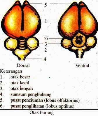 sistim sarafnya ialah saraf sentra dan saraf tepi Sistem Saraf Pada Hewan (Vertebrata dan Avertebrata)