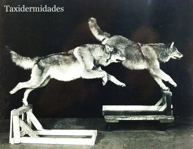 Manada De Lobos A Medianoche 1947 Diorama Del American Museum