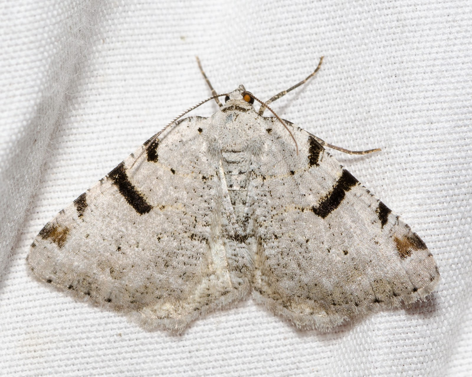 Barred Granite (Speranza subcessaria)