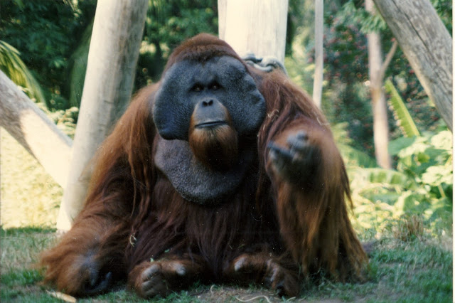 Bornean Orangutan Ken Allen in the San Diego Zoo making hand gestures towards the camera. 1990s. The Zoo Houdinis and other stories. marchmatron.com