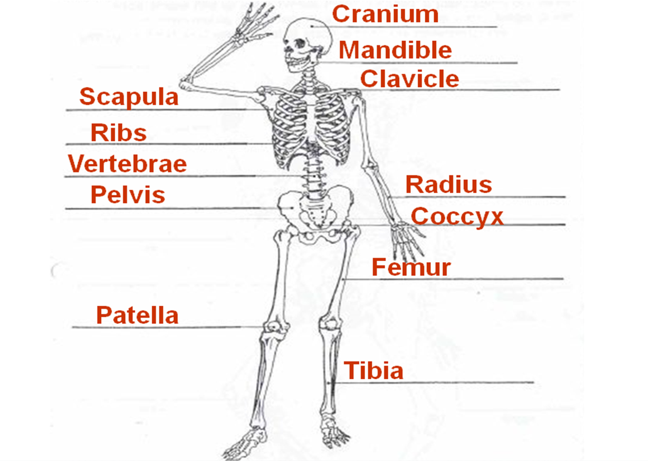 Skeleton Diagram For 4th Grade Kwikee Electric Step Wiring 7th Skeletal System Free Engine Image