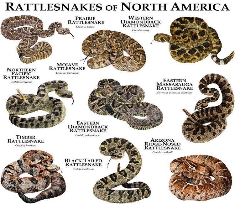 Cobras Cascavéis da América do Norte