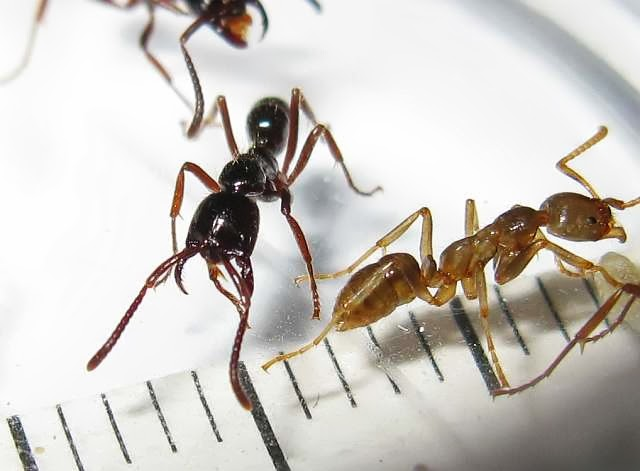 Workers of Leptogenys ants.