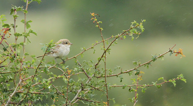 Woodchat Shrike at Sodbury Common