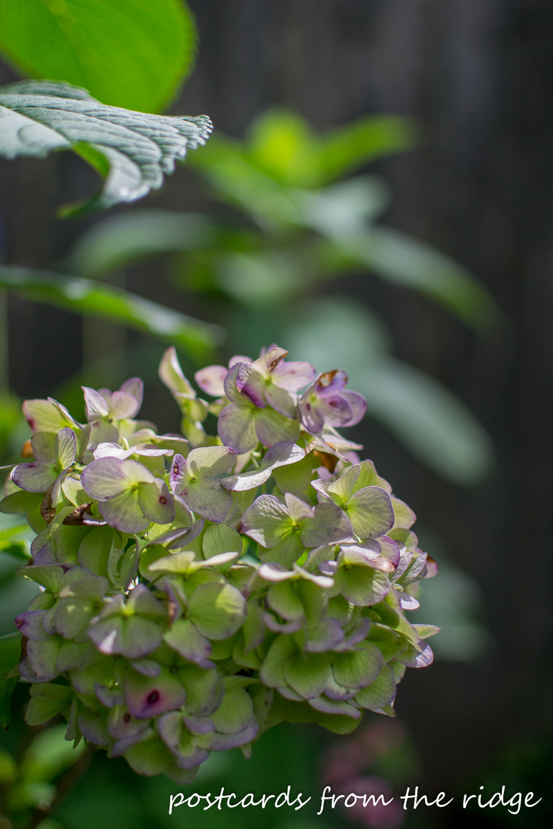 Hydrangeas are my favorite. This is such an easy way to dry them.