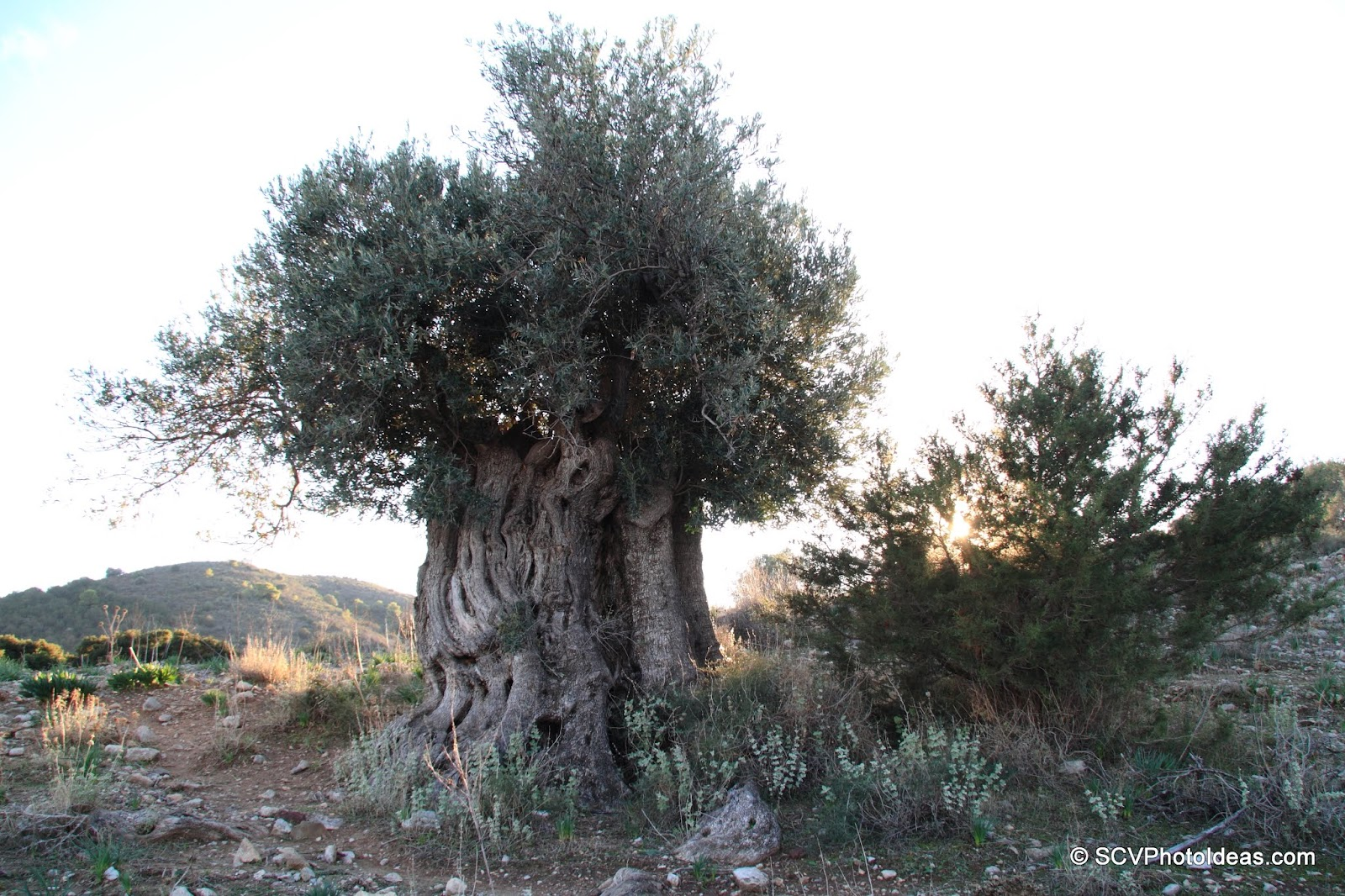 3000 year old ancient Olive overview