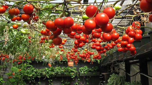 Tip S Menanam Tomat Cherry Mudah Dan Praktis Budidaya Com