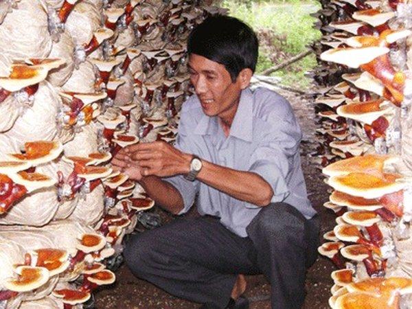 5 tiêu chuẩn chọn nấm linh chi an toàn chất lượng cao
