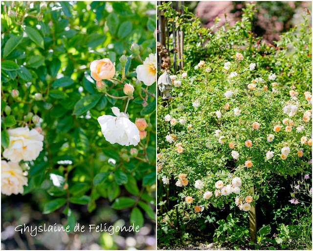 Impressionen aus dem Rosengarten, Pomponetti, Ghyslaine de Feligonde