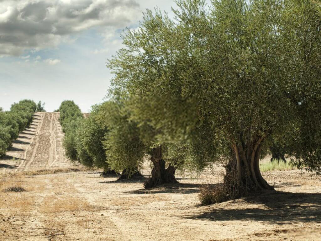 Pohon Buah Zaitun
