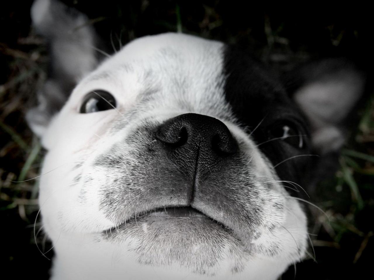 Cute Rat Wallpaper Hd 1366x768 Cute Puppy Dogs Cute Boston Terrier Puppies