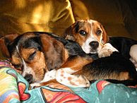 Beautiful beagle dogs sleeping