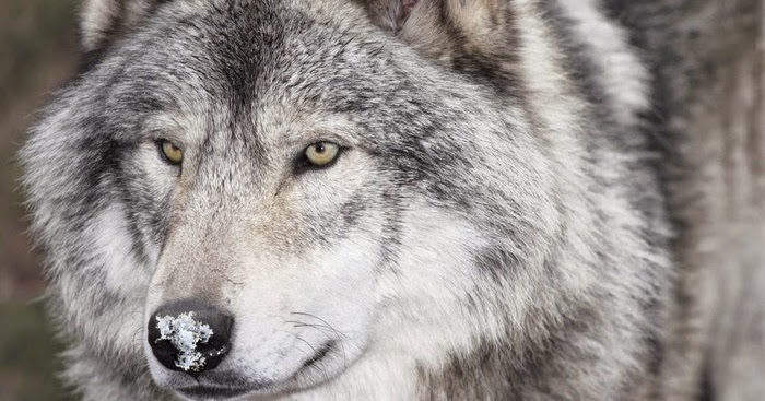 White Wolf 22 Fascinating Facts About Wolves