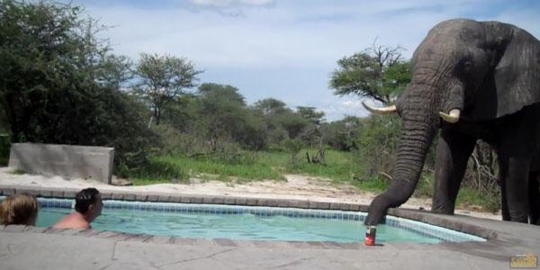 Elephant écrase une fête de la piscine puis maladroitement il laisse. Moment terrifiant!