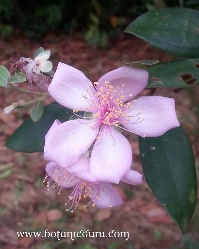 Rhodomyrtus tomentosa, Rose Myrtle flower