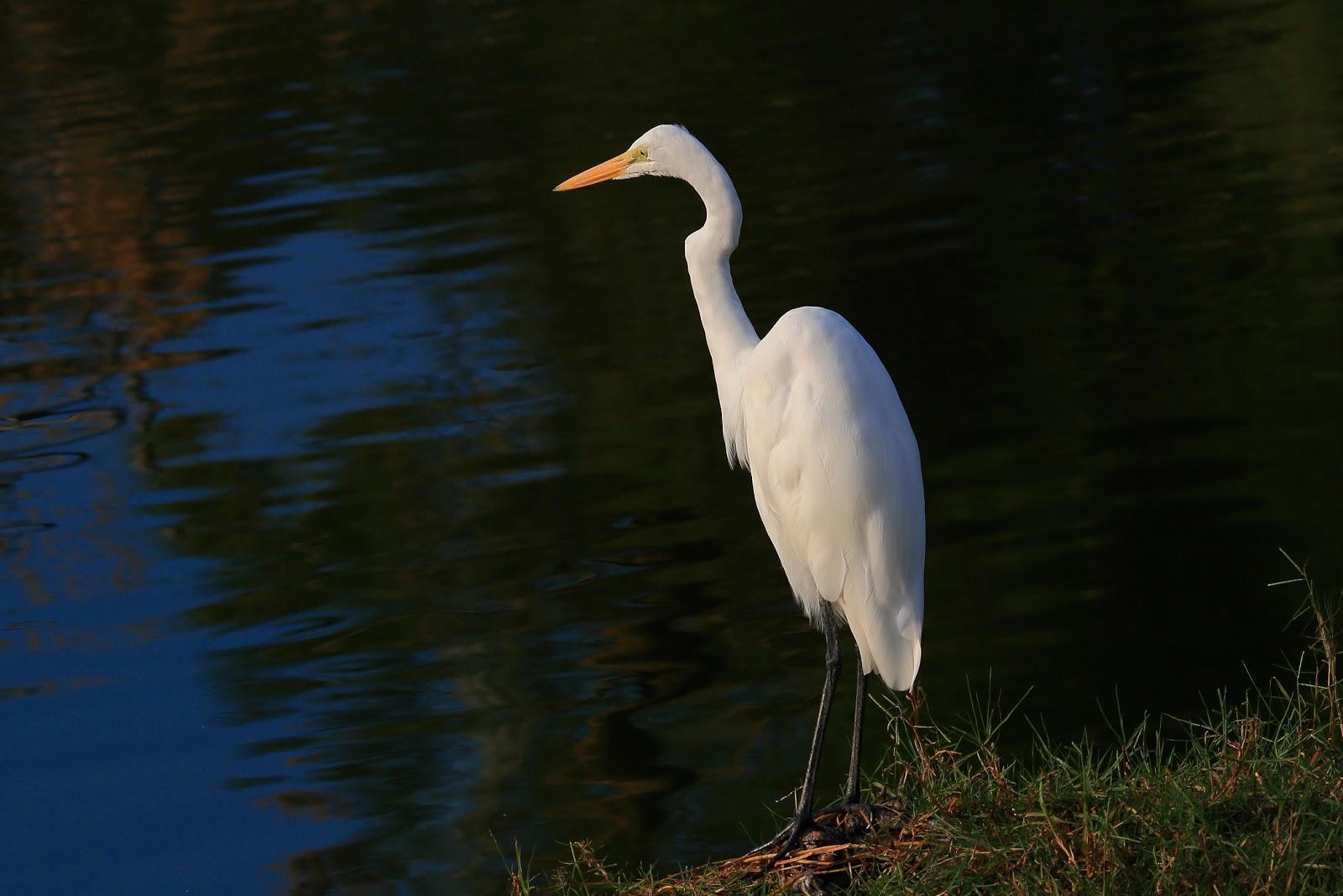 雀鳥攝影: 大白鷺 @ 幾乎所有濕地
