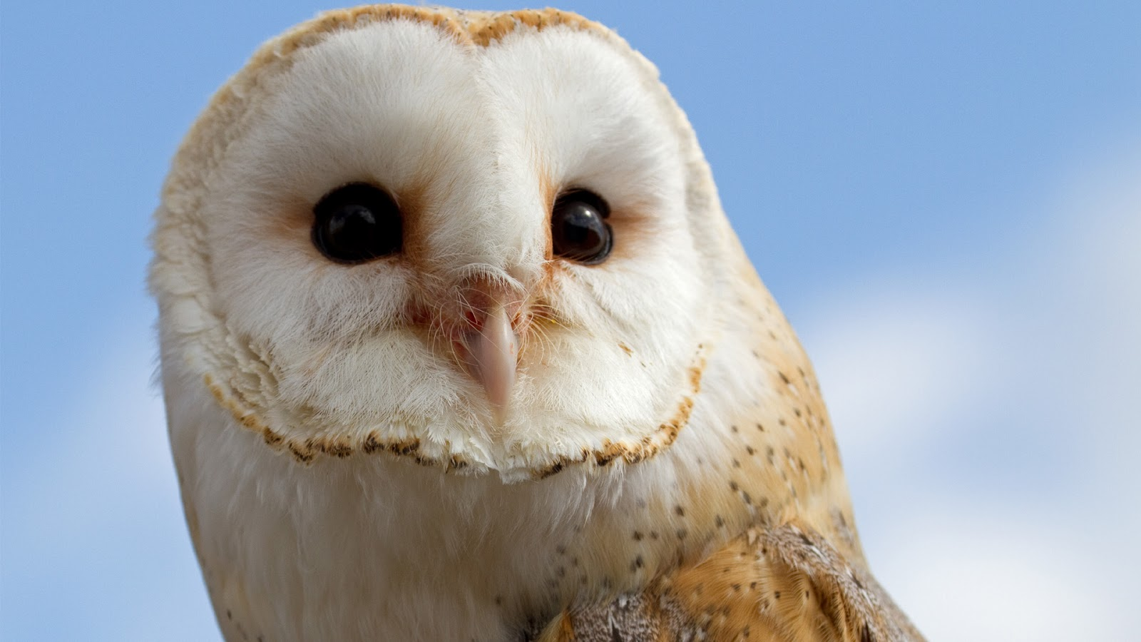 Barn Owl   HD Wallpapers (High Definition)   Free Background