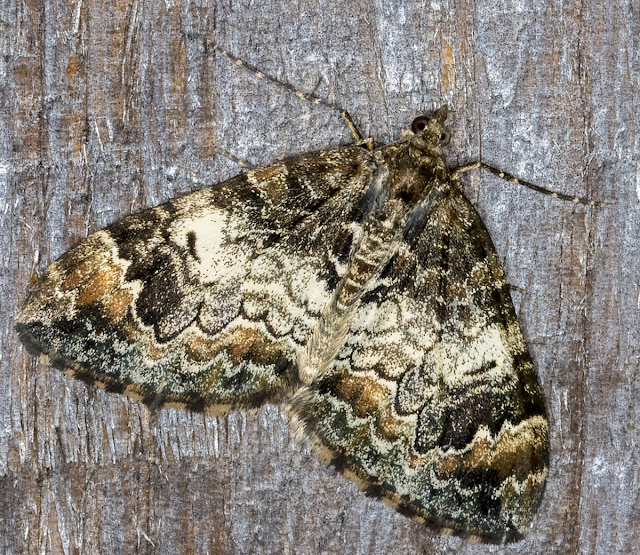 Common Marbled Carpet, Dysstroma truncata.  Luxford Lane, Crowborough, 26 September 2017.