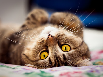 cat normal resolution hd wallpapers 23