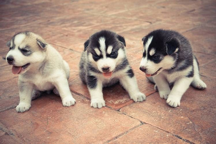 husky siberiano temperamento