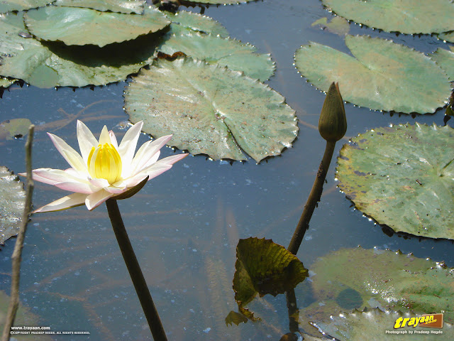 White water lily and a bud yet to bloom