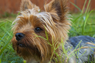 A Yorkshire Terrier in the garden