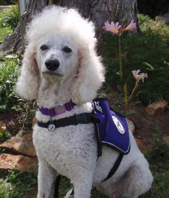 White standard poodle sitting in purple service dog vest