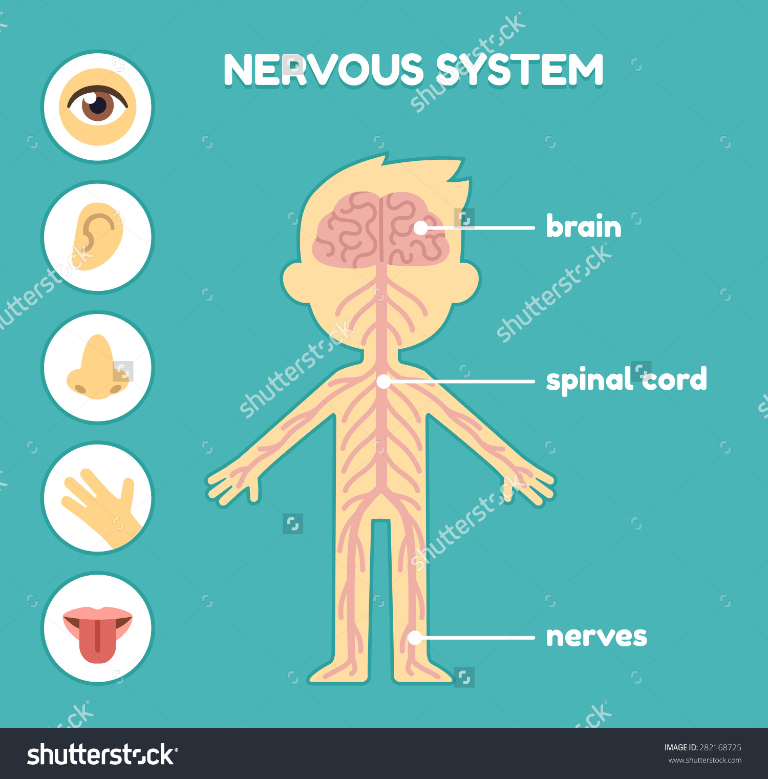 ENGLISH with Lale THE VITAL FUNCTIONS INTERACTIONNervous System Diagram Labeled Kids