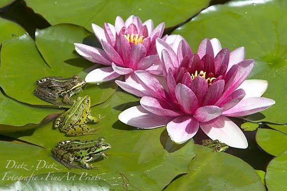 Wasserfrösche (Rana esculenta) und Seerose (Nymphaea)