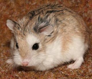 Hamster merupakan sejenis binatang pengerat  Kabar Terbaru- JENIS HAMSTER