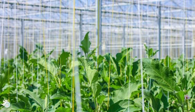 Scherzer Gemüse Anbau