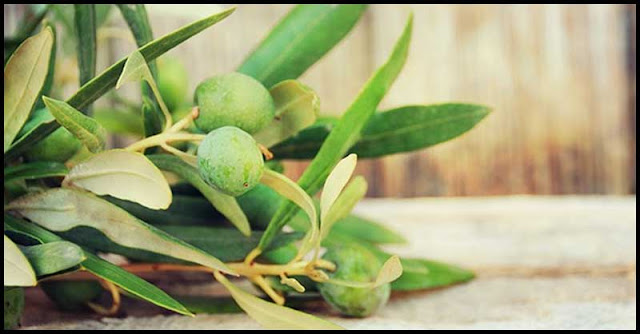 Olive Leaf Extract And Its Medicinal Uses